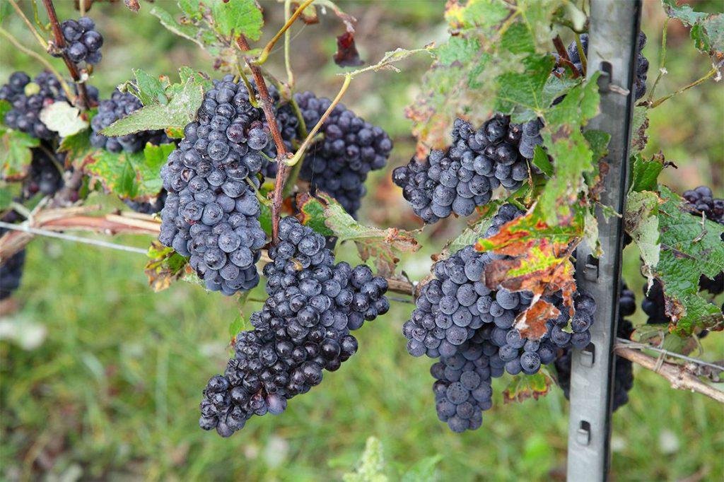 Vignoble pinot meunier
